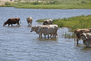 Maryland and other Bay jurisdictions now require keeping cattle out of streams.